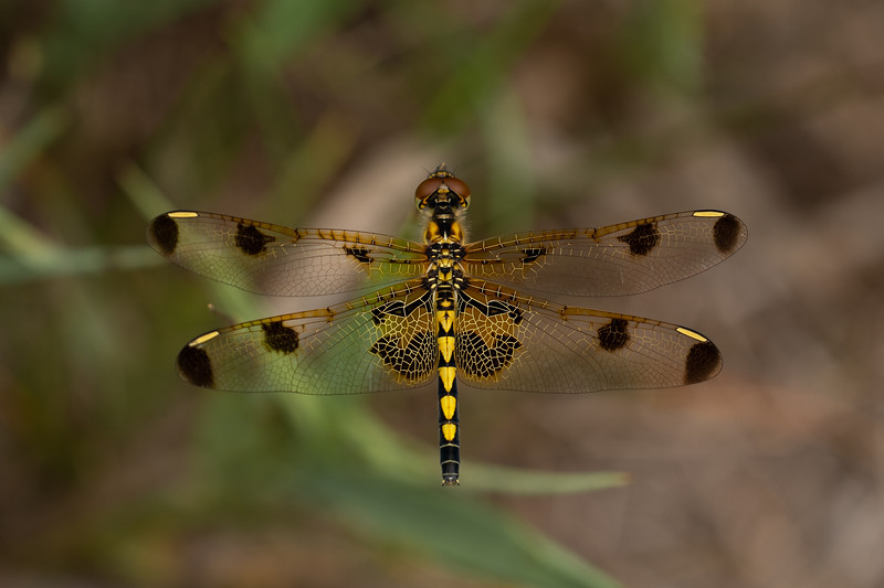 Calico Pennant dragonfly, in Area 5 (Photo by Chelsea Marcantonio)