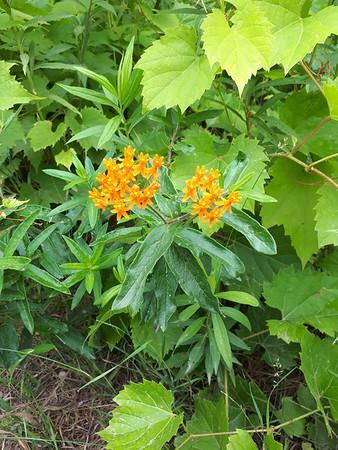 Butterfly Milkweed , in Area 5 (Photo by Jennifer Jackman)