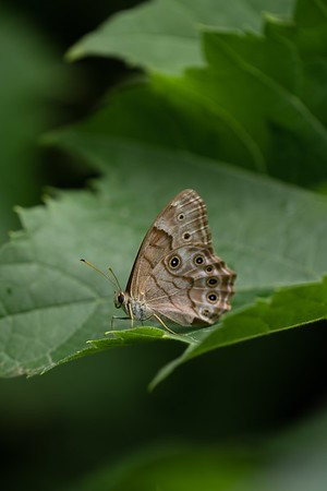 Northern Pearly-Eye butterfly, in Area 5 (Photo by Chelsea Marcantonio)