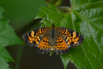 Pearl Crescent butterfly, in Area 5 (Photo by Chelsea Marcantonio)