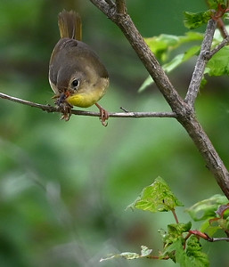 Common Yellowthroat (Geothlypis trichas) female with food in Wesleyville East Marsh in the deciduous wooded swamp area. , in Area 1 (Photo by Gerry McKenna)