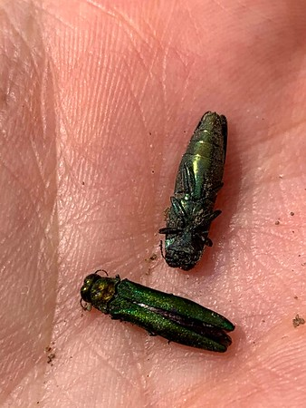 Emerald Ash Borer paralyzed by wasp , in Area 5 (Photo by Samantha Dunlop)