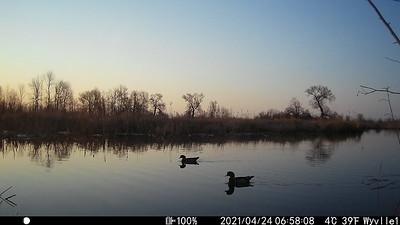 Wood Ducks at Sunrise - East Marsh