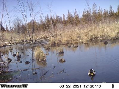 Mallard pair in East Marsh