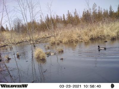 Mallards in East Marsh