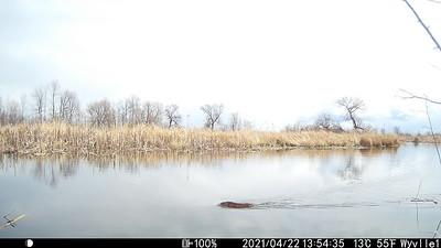 Beaver in Wesleyville East Marsh upstream of dam.