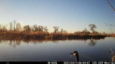 Canada Goose foraging in East Marsh