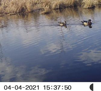 Wood Duck pair - Wesleyville East Marsh