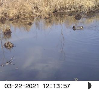 Green-winged Teal (drake) in Wesleyville East Marsh