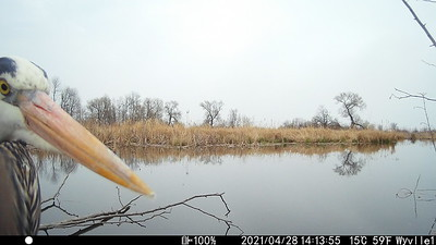 Great Blue Heron in East Marsh