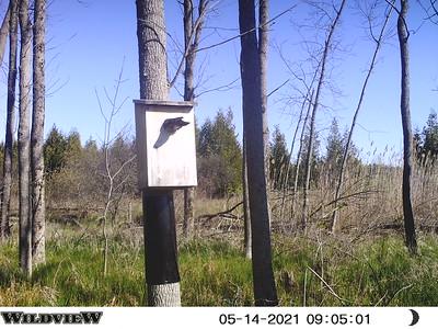 Wood Duck entering nest box - East Marsh