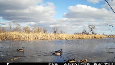Wood Ducks in East Marsh (Wesleyville)