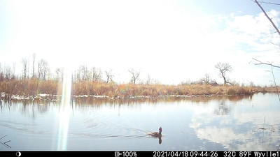 Red-breasted Merganser in East Marsh - log cam