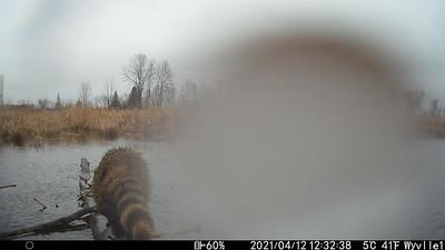Raccoon  - East Marsh Wesleyville