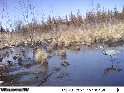 Great Blue Heron - East Marsh