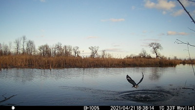 Belted Kingfisher in East Marsh upstream of beaver dam.