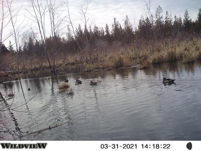 Black Ducks in East Marsh
