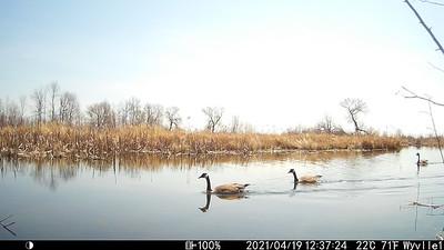 Canada Goose in East Marsh beaver pond