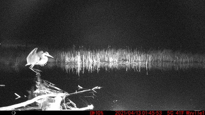 Great Blue Heron captured by logcam