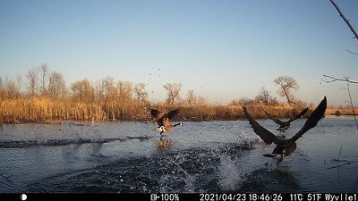 Canada Goose on take-off in East Marsh