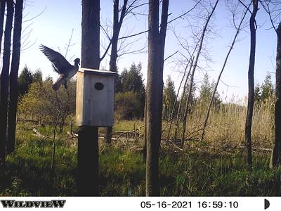 Wood Duck hen approaches nest box in east marsh