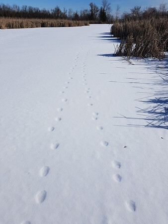 Coyote tracks (2 sets) in Wesleyville West Marsh , in Area 2 (Photo by Gerry McKenna)