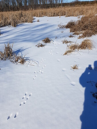 Eastern Cottontail and Coyote Tracks - Wesleyville East Marsh , in Area 1 (Photo by Gerry McKenna)