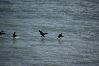 Canada Goose landing offshore of east bluff (east of powerhouse) , in Area 1 (Photo by Gerry McKenna)