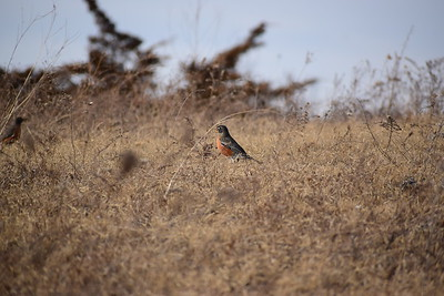 American Robin (overwintering), one of four on top of east bluff, , in Area 1 (Photo by Gerry McKenna)