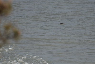 Long-tailed Duck offshore of east bluff (east of powerhouse) , in Area 1 (Photo by Gerry McKenna)