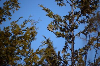 Black-capped Chickadee in cedars along Wesleyville Creek (East Marsh) , in Area 1 (Photo by Gerry McKenna)