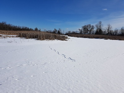 Coyote tracks visible in Wesleyville West Marsh , in Area 2 (Photo by Gerry McKenna)