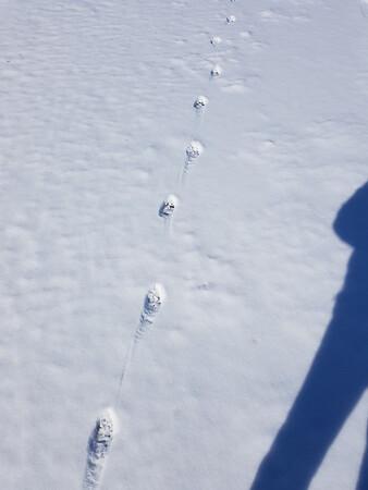 Coyote tracks in Wesleyville West Marsh , in Area 2 (Photo by Gerry McKenna)