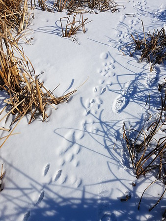 Eastern Cottontail tracks in the Wesleyville East Marsh , in Area 1 (Photo by Gerry McKenna)