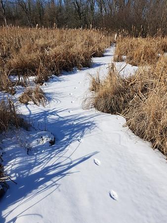 Coyote tracks in Wesleyville Creek - East Marsh , in Area 1 (Photo by Gerry McKenna)