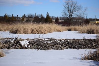 Beaver Dam on Wesleyville Creek in East Marsh (view north) , in Area 1 (Photo by Gerry McKenna)