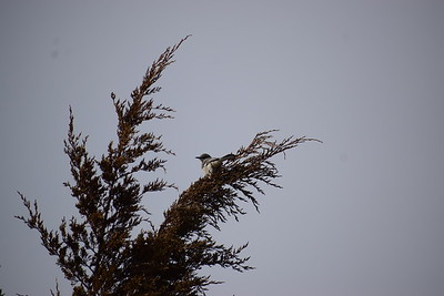 Northern Mockingbird in cedar - east bluff (east of powerhouse) , in Area 1 (Photo by Gerry McKenna)