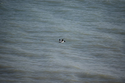 Common Goldeneye offshore of east bluff (east of powerhouse) , in Area 1 (Photo by Gerry McKenna)