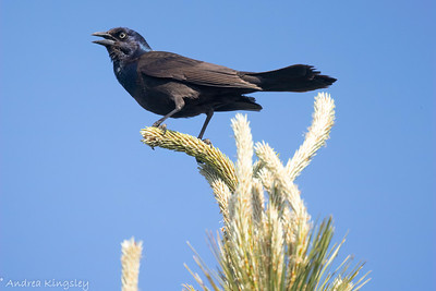 Common Grackle , in Area 2 (Photo by Andrea Kingsley)