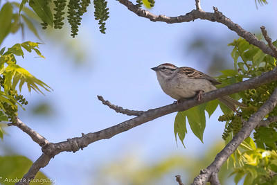 Chipping Sparrow , in Area 2 (Photo by Andrea Kingsley)