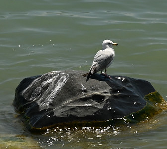 Ring-billed Gull offshore , in Area 1 (Photo by Gerry McKenna)