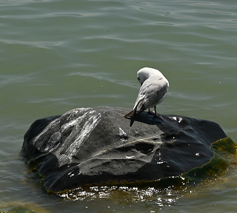 Ring-billed Gull preening offshore , in Area 1 (Photo by Gerry McKenna)