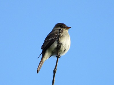 Flycatcher sp? , in Area 3 (Photo by Don McLeod)