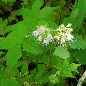 Wild Geranium (Geranium maculatum) in woodland at southeast corner of OPG , in Area 1 (Photo by Gerry McKenna)