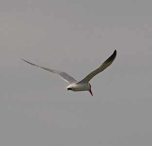Caspian Tern offshore , in Area 1 (Photo by Gerry McKenna)
