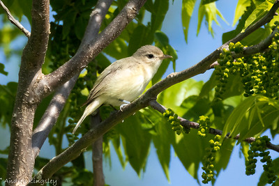 Warbling Vireo , in Area 2 (Photo by Andrea Kingsley)