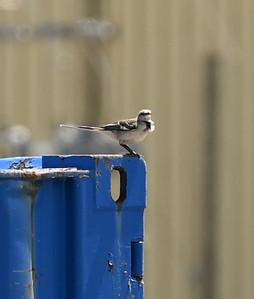 Northern Mockingbird near powerhouse (northwest corner) , in Area 1 (Photo by Gerry McKenna)