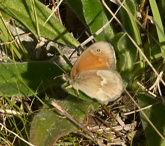 Common Ringlet (Coenonympha tullia) Butterfly near edge of sewage lagoons , in Area 1 (Photo by Gerry McKenna)