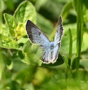 Azure (Celestrina sp.)butterfly - east bluff, east of powerhouse , in Area 1 (Photo by Gerry McKenna)