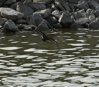 Spotted Sandpiper in Wesleyville Sewage Lagoons , in Area 1 (Photo by Gerry McKenna)